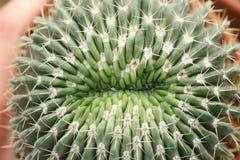 Κάκτοι Notocactus Στοκ εικόνα με δικαίωμα ελεύθερης χρήσης