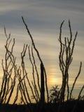 Κάκτοι Ocotillo στο ηλιοβασίλεμα στο εθνικό μνημείο κάκτων σωλήνων οργάνων, Αριζόνα, ΗΠΑ Στοκ φωτογραφία με δικαίωμα ελεύθερης χρήσης