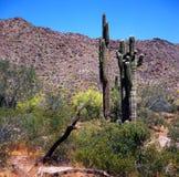 Κάκτοι Saguaro στα βουνά ερήμων Sonora στοκ φωτογραφίες