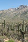 Κάκτοι Saguaro Στοκ εικόνα με δικαίωμα ελεύθερης χρήσης