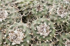 Κάκτοι Turbinicarpus Στοκ Εικόνα