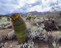 Κάκτος βαρελιών στο τοπίο ερήμων Sonoran Στοκ Εικόνες