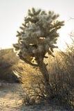 Κάκτος, εθνικό πάρκο δέντρων του Joshua Στοκ εικόνα με δικαίωμα ελεύθερης χρήσης