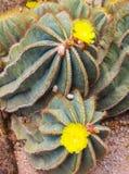 Κάκτος και κίτρινο λουλούδι Στοκ εικόνες με δικαίωμα ελεύθερης χρήσης
