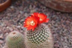 Κάκτος και λουλούδι Sanguiniflora Parodia Στοκ Φωτογραφίες