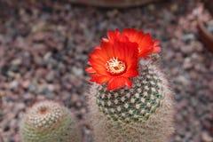 Κάκτος και λουλούδι Sanguiniflora Parodia Στοκ φωτογραφίες με δικαίωμα ελεύθερης χρήσης