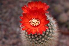 Κάκτος και λουλούδι Sanguiniflora Parodia Στοκ εικόνες με δικαίωμα ελεύθερης χρήσης