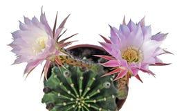 Κάκτος κρίνων Πάσχας με ένα λουλούδι Στοκ Εικόνες