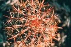 Κάκτος με τα κόκκινα burbs closeup στοκ φωτογραφία με δικαίωμα ελεύθερης χρήσης
