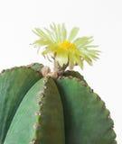 Κάκτος με το κίτρινο λουλούδι. Στοκ Εικόνες