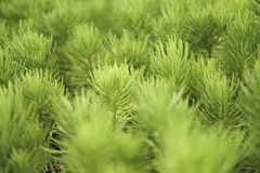 Κάκτος πεύκων στον κήπο Στοκ εικόνες με δικαίωμα ελεύθερης χρήσης
