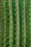 κάκτος πράσινος Στοκ Εικόνα
