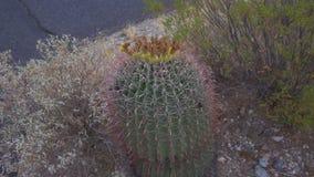 Κάκτος σκαντζόχοιρων με τις ρόδινες σπονδυλικές στήλες και την κίτρινη κορυφή φιλμ μικρού μήκους