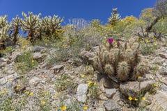 Κάκτος σκαντζόχοιρων που ανθίζει στο κρατικό πάρκο ερήμων anza-Borrego, Cali Στοκ Εικόνες