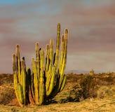 Κάκτος στο Μεξικό Στοκ Εικόνες