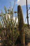 Κάκτος στο νότο μουσείων ερήμων της Αριζόνα Sonora του Phoenix Αριζόνα ΗΠΑ στοκ εικόνες