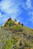 Κάκτος του ST Maarten, καραϊβικός στοκ εικόνες
