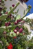 Κάκτος τραχιών αχλαδιών με τα λουλούδια Στοκ Εικόνες
