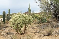 Κάκτος Cholla Teddybear στην έρημο Sonoran Στοκ εικόνα με δικαίωμα ελεύθερης χρήσης