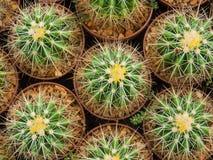 Κάκτος (Echinocactus) Στοκ Εικόνες