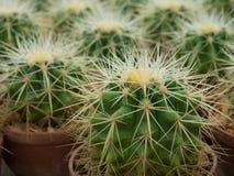 Κάκτος (Echinocactus) Στοκ Φωτογραφία