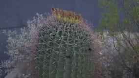 Κάκτος Echinocereus με τις ρόδινες σπονδυλικές στήλες φιλμ μικρού μήκους