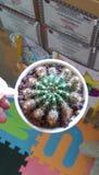 Κάκτος Echinopsis στοκ φωτογραφίες με δικαίωμα ελεύθερης χρήσης