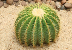 Κάκτος: Grusonii Echinocactus Στοκ Εικόνα