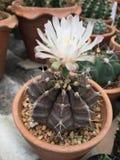 Κάκτος Gymnocalycium με το λουλούδι Στοκ Εικόνες