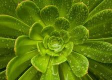 Κάκτος Lotus Στοκ εικόνες με δικαίωμα ελεύθερης χρήσης