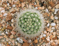 Κάκτος Mammillaria Στοκ εικόνες με δικαίωμα ελεύθερης χρήσης