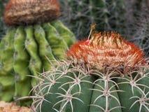 Κάκτος (Melocactus) Στοκ Εικόνες