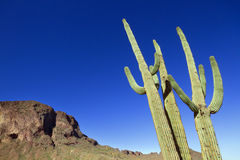 Κάκτος Saguaro Στοκ εικόνα με δικαίωμα ελεύθερης χρήσης