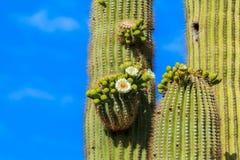 Κάκτος Saguaro Airzonan στην άνθιση Στοκ Εικόνες