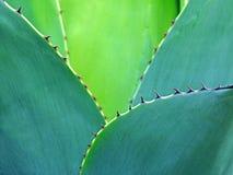 Κάκτων εξωτικός άγριος τροπικός φυτών cactaceae φύλλων φύλλων αγκαθιών ακανθώδης στοκ φωτογραφία με δικαίωμα ελεύθερης χρήσης