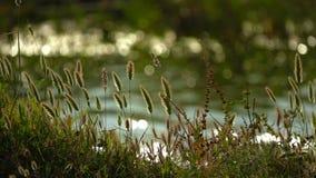 Κάλαμοι και λίμνη στη φύση απόθεμα βίντεο