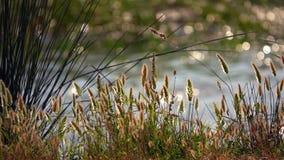 Κάλαμοι και λίμνη στη φύση φιλμ μικρού μήκους