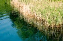 κάλαμοι λιμνών Στοκ Εικόνα