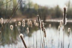 Κάλαμοι στο υπόβαθρο της λίμνης Κάλαμοι με κάτω από την άνοιξη στοκ φωτογραφία