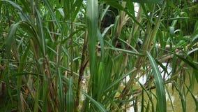 Κάλαμος ζάχαρης σε έναν τροπικό κήπο απόθεμα βίντεο