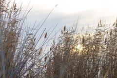 Κάλαμος στην αυγή ήλιων υποβάθρου Στοκ Εικόνες