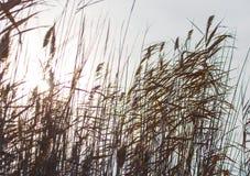 Κάλαμος στην αυγή ήλιων υποβάθρου Στοκ Φωτογραφίες