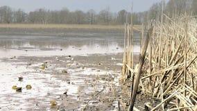 Κάλαμος στην πεταγμένη κενή λίμνη χωρίς νερό Ξηρός κάλαμος γύρω από τη λίμνη Του γλυκού νερού κοχύλια και οστρακόδερμα απόθεμα βίντεο