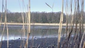 Κάλαμος στην πεταγμένη κενή λίμνη χωρίς νερό Ξηρός κάλαμος γύρω από τη λίμνη Του γλυκού νερού κοχύλια και οστρακόδερμα φιλμ μικρού μήκους