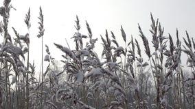 Κάλαμος στην τράπεζα της δασικής λίμνης που καλύπτεται με το χιόνι στη χειμερινή ηλιόλουστη ημέρα στα πλαίσια του ουρανού Είναι απόθεμα βίντεο