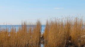 Κάλαμος στη θάλασσα της Βαλτικής Στοκ Εικόνες