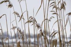 Κάλαμος στο χιόνι Στοκ φωτογραφία με δικαίωμα ελεύθερης χρήσης
