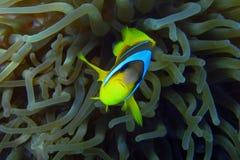 Κάμερα Ερυθρών Θαλασσών anemonefish Στοκ φωτογραφία με δικαίωμα ελεύθερης χρήσης