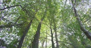 Κάμερα που εξετάζει επάνω τα ψηλά δέντρα σε ένα δάσος φιλμ μικρού μήκους