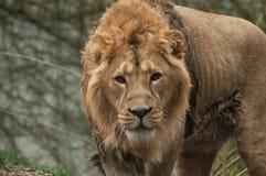 κάμερα προσοχής λιονταριών στοκ φωτογραφία